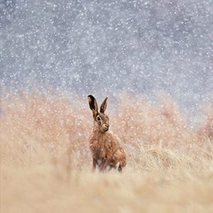 Wildlife Blank Cards - Hare as Snow Falls from the Wildlife Trusts