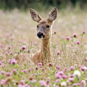 Wildlife Trust Greeting Card - Roe Deer in the Meadow Blank Card