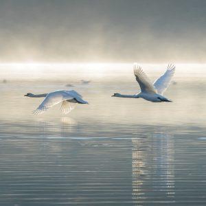 Greeting Card Wildlife Trust - Elegant Mute Swans in Flight