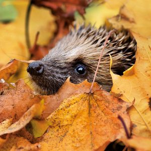 Blank Photo Cards from the Wildlife Trusts - Hedgehog in the Leaves